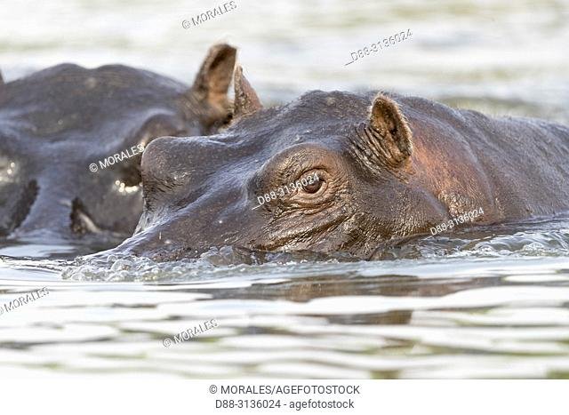 Africa, Southern Africa, Bostwana, Chobe i National Park, Chobe river, Common hippopotamus or Hippo (Hippopotamus amphibius), in the water