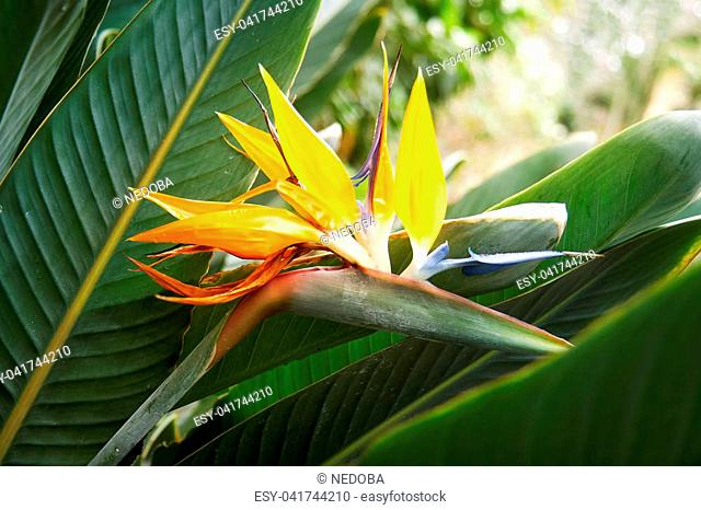 Strelitzia flower, Strelitzia reginae, also known as crane flower and bird of paradise