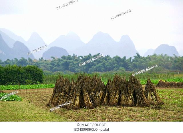 Rice field yangshuo