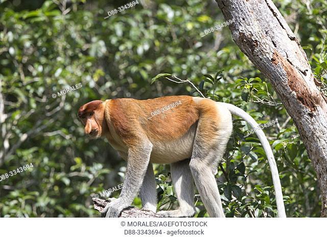Asie, Indonésie, Bornéo,Kalimantan, Parc national Tanjung Puting, Nasique de Bornéo, mâle adulte dans un arbre / Asia, Indonesia, Borneo