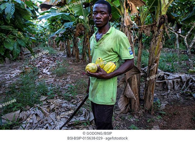 Ivory Coast. Farmer harvesting cocoa in his plantation