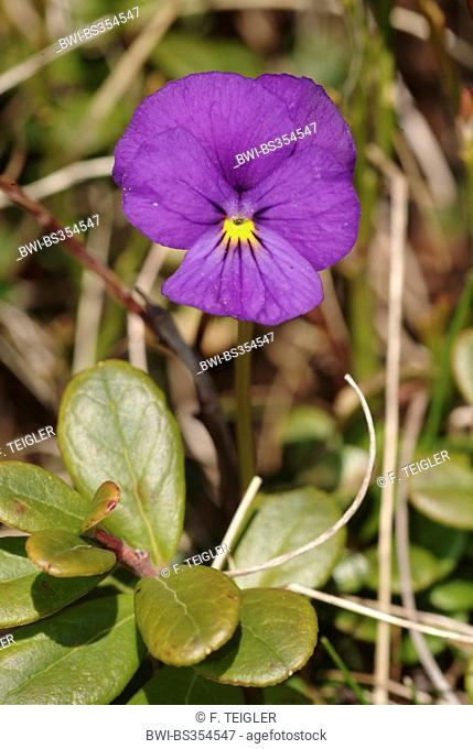 Swiss violet (Viola calcarata), blooming, Switzerland