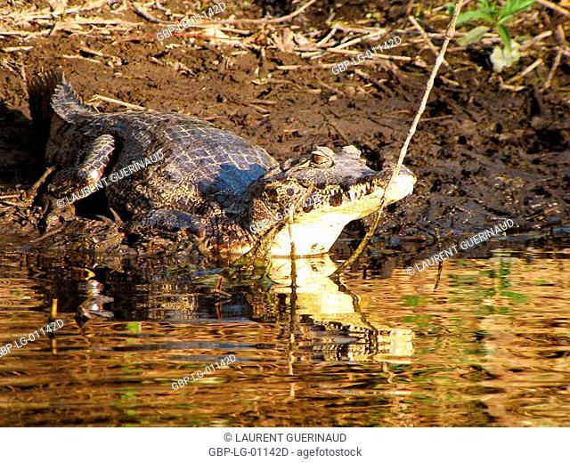 Alligator, Nature, Pantanal, Mato Grosso do Sul, Brazil