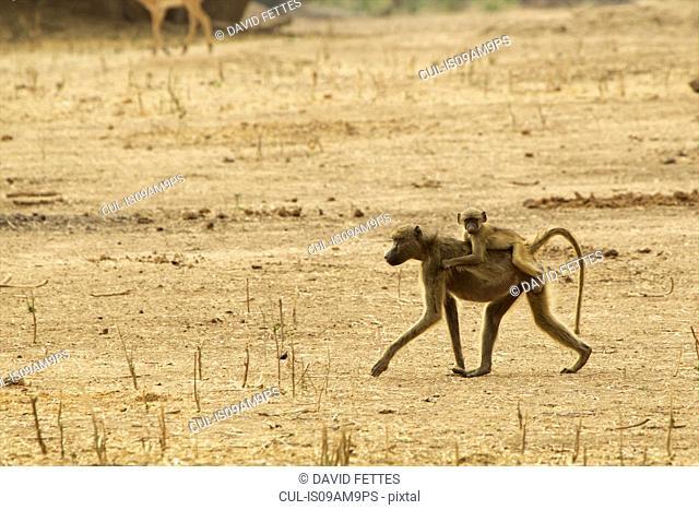 Baby baboon (Papio cynocephalus ursinus) riding on parent's back, Mana Pools, Zimbabwe, Africa