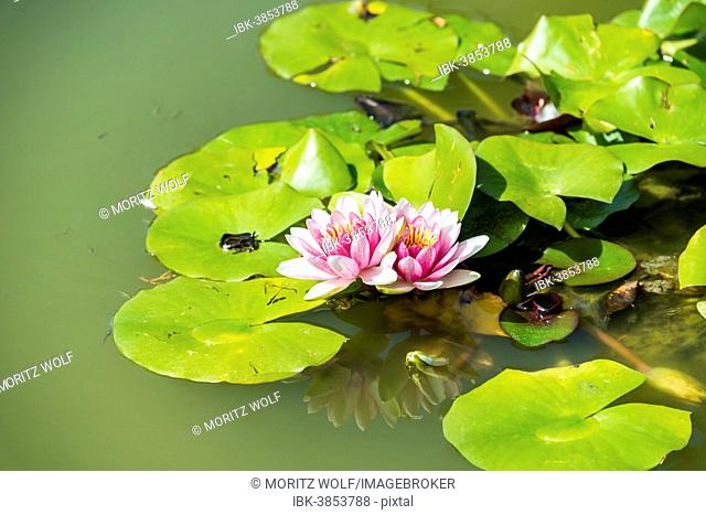 Pink and white Water Lily (Nymphaea spp.) in a pond