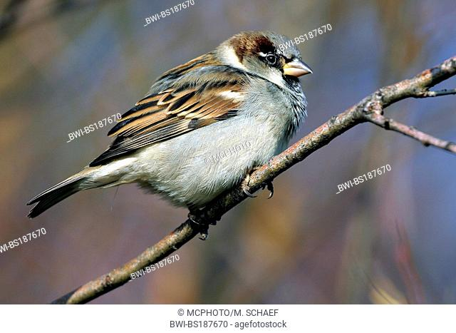 house sparrow (Passer domesticus), fledgling, Germany