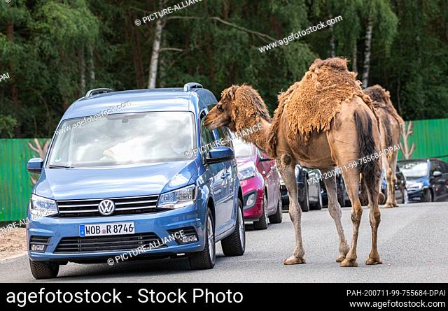 """11 July 2020, Lower Saxony, Hodenhagen: A bactrian camel sniffs at a visitor vehicle in the Serengeti Park Hodenhagen. (to dpa """"""""How business has started again..."""