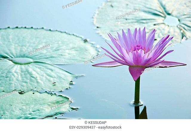 Purple Cape water-lilly or Nymphaea stellata Wild in the lagoon