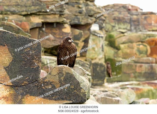 Striated Caracara (Phalcoboenus australis) perched from storm at cliff edge, Falkland Islands, Sea Lion Island