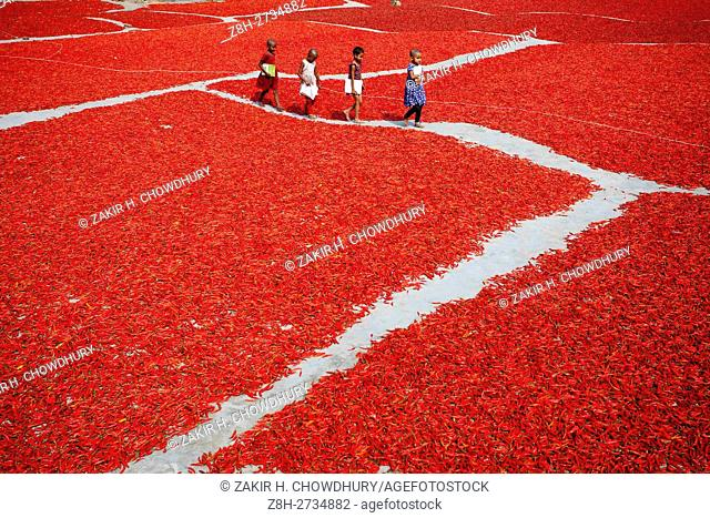 GAIBANDHA, BANGLADESH - FEBRUARY 23 : Children goingto school using the way near women processing and drying red chilli uner sun near Jamuna river 240 kms...