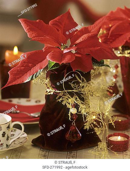 Poinsettia with velvet bag as cache-pot