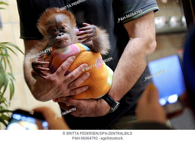 Rieke is presented to the visitors in Berlin, Germany, 22 February 2015. The ape was born on the 12th of January 2015 and was bottle-fed