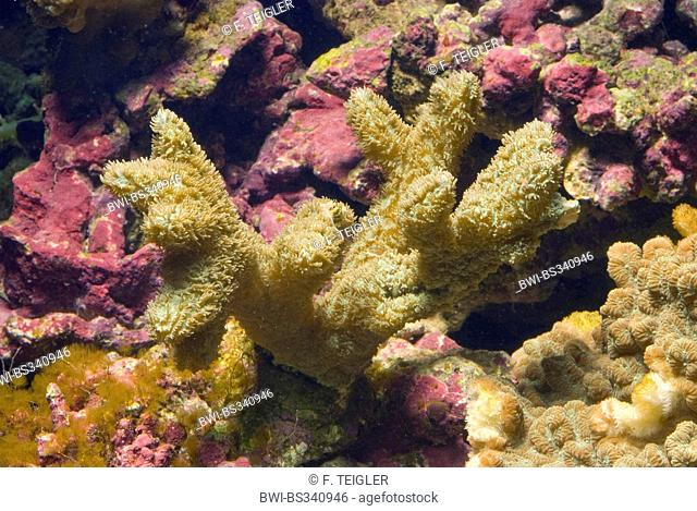 Stony Coral (Hydnophora exesa), side view