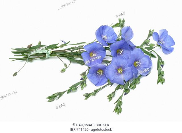 Flax or Linseed (Linum usitatissimum), medicinal plant