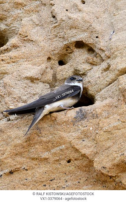 Sand Martin / Bank Swallow / Uferschwalbe ( Riparia riparia) sitting in front of its nest hole in a breeding colony in a sand pit, wildlife, Europe