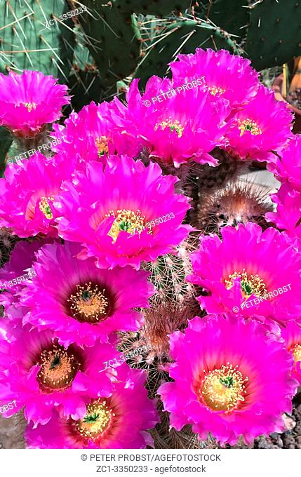 Flowering cactus Echinocereus reichenbachii from Texas - USA