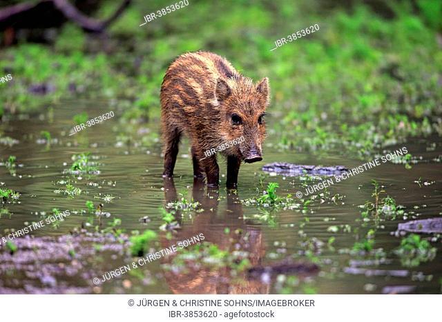 Wild Boar (Sus scrofa), piglet in the water, Baden-Württemberg, Germany