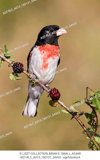 Adult male Rose-breasted Grosbeak, Rose-breasted Grosbeak, Pheucticus ludovicianus