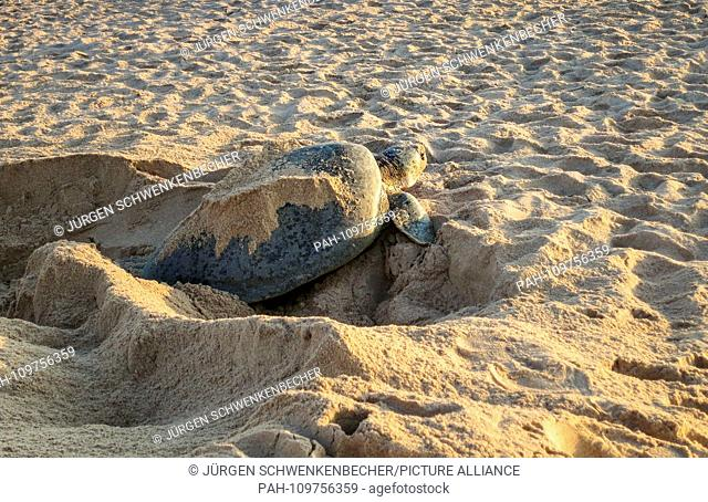 A Green Sea Turtle (Chelonia mydas) leaves the nest pit at dawn at a protected beach near Ras al-Jinz (Oman). The night before