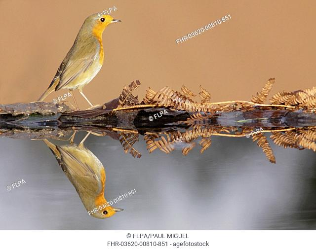 European Robin (Erithacus rubecula) adult, standing at edge of pool with reflection, West Yorkshire, England, January