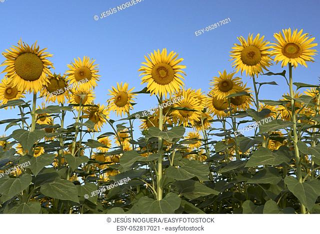 Field of sunflowers in Malaga, Andalusia. Spain