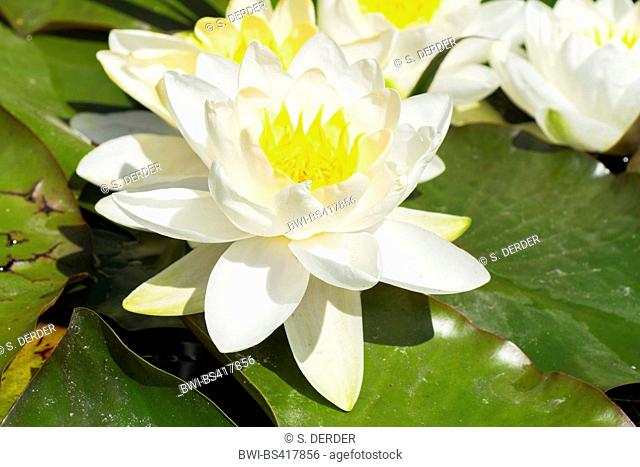 white water-lily, white pond lily (Nymphaea alba), flower, Germany, Bavaria, Oberbayern, Upper Bavaria