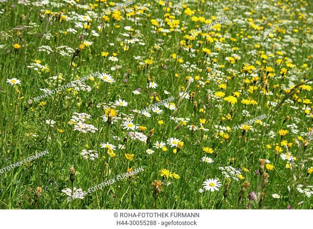 Bild- Foto, RoHa-Fotothek, Wildental, Land Salzburg, Österreich, Oesterreich, St. Martin bei Lofer, Lofer, Tal, Landwirtschaft, Bauern, Blumen, Wildblumen