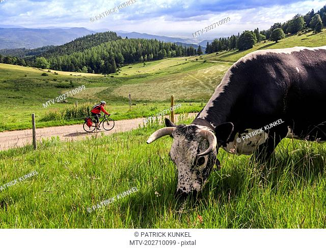 Man on solo bicycle road trip with cattle grazing in foreground