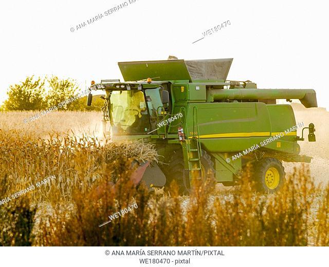 A harvesting machine in a field harvesting corn at sunset in autumn in Salamanca (Spain)