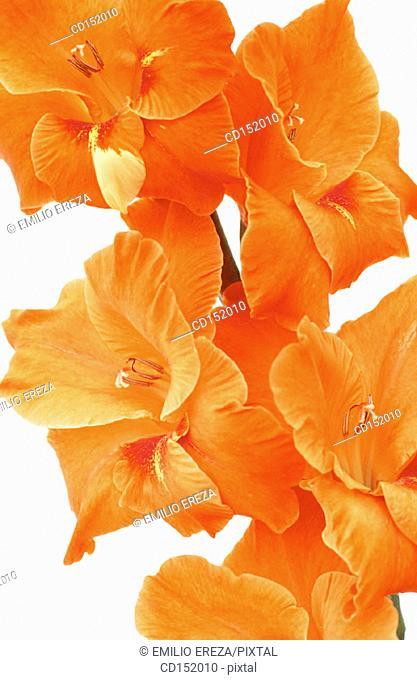 Gladiolus hybr