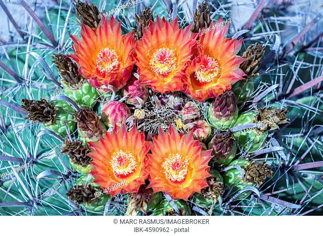 Orange-red flowering Fishhook Barrel Cactus (Ferocactus wislizeni), Tucson, Arizona, USA