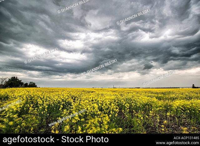 Storm dying over wind swept swirling canola field in southern rural Manitoba Canada