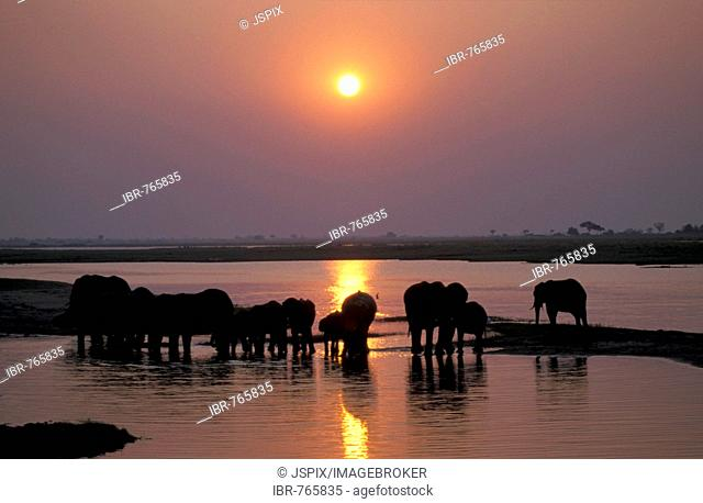 Herd of African Bush or Savanna Elephants (Loxodonta africana) waterhole at sunset
