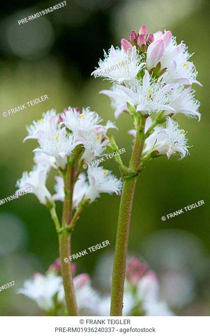 Bog-bean, Menyanthes trifoliata / Fieberklee, Menyanthes trifoliata