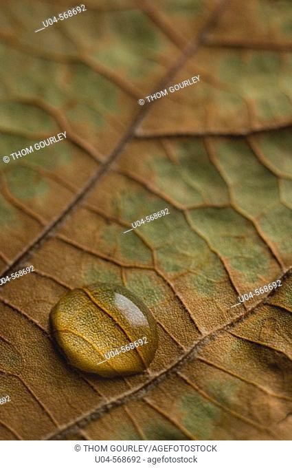 Water droplet on dry leaf