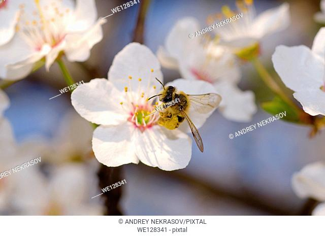 Honey bee (Apis mellifera) collecting pollen, Ukraine, Eastern Europe