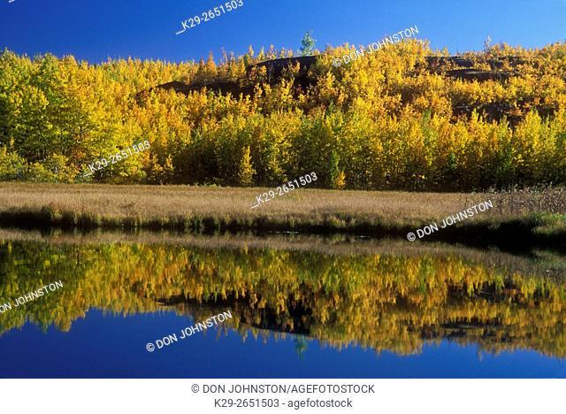 Aspen trees in late autumn colour reflected in Robinson Lake , Greater Sudbury, Ontario, Canada