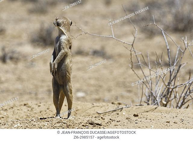 Meerkat (Suricata suricatta), adult female standing at burrow entrance, alert, Kgalagadi Transfrontier Park, Northern Cape, South Africa, Africa