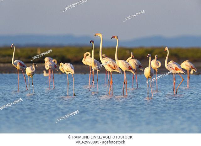 European Flamingo, Great Flamingo, Phoenicopterus roseus, Saintes-Maries-de-la-Mer, Parc naturel régional de Camargue, Languedoc Roussillon, France