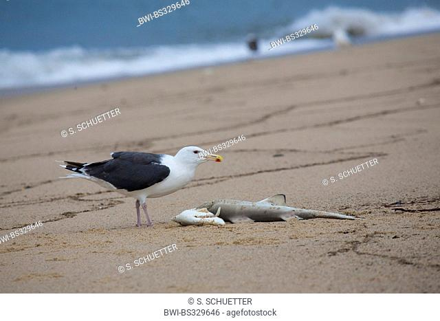 greater black-backed gull (Larus marinus), feeding on a small shark cadaver on the beach, USA, Massachusetts, Cape Cod, Provincetown