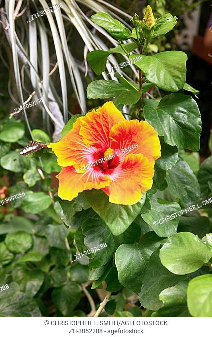 Hibiscus flower, a genus of the mallow family which grows in subtropical regions of the World
