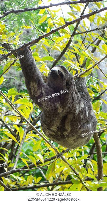 Brown-throated Three-toed Sloth (Bradypus variegatus), Venezuela