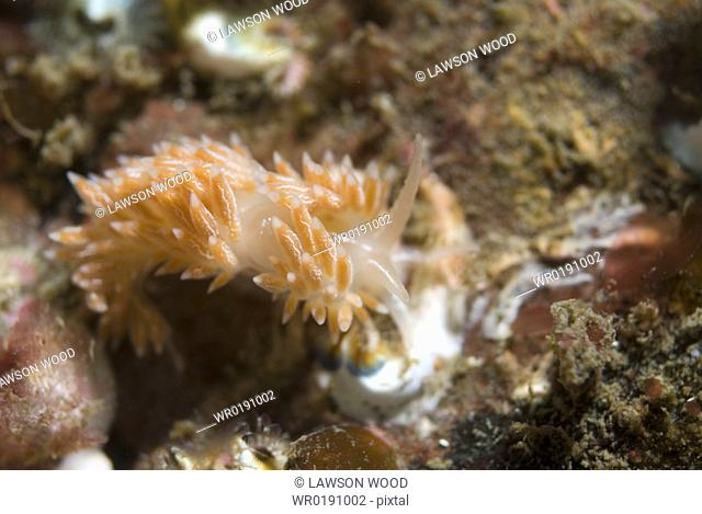 Lined Nudibranch Coryphella lineata, fawn coloured British nudibranch with many tentacles on back and bisible line down mid back, St Abbs, Scotland