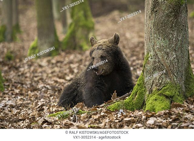 Attentive European Brown Bear (Ursus arctos) rests next to a tree in an autumnal broad-leaved forest.