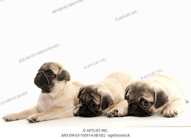 Three puppies lying down