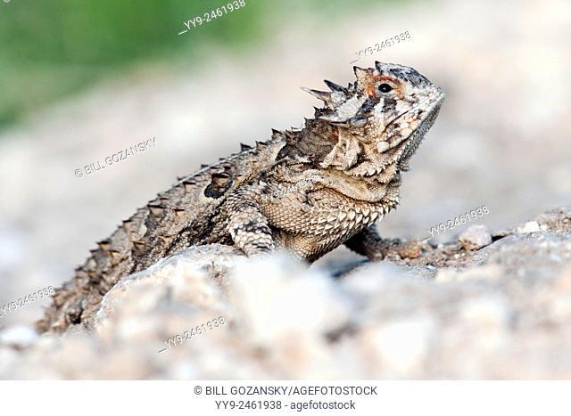 Texas Horned Lizard (Phrynosoma cornutum) - Camp Lula Sams - Brownsville, Texas USA