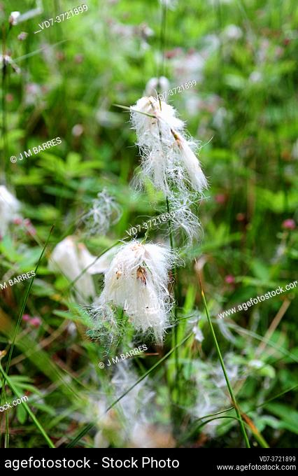 Sheated cottonsedge or tussock cottongrass ( Eriophorum vaginatum) is a perennial herb native to North Europe, North America and North Asia