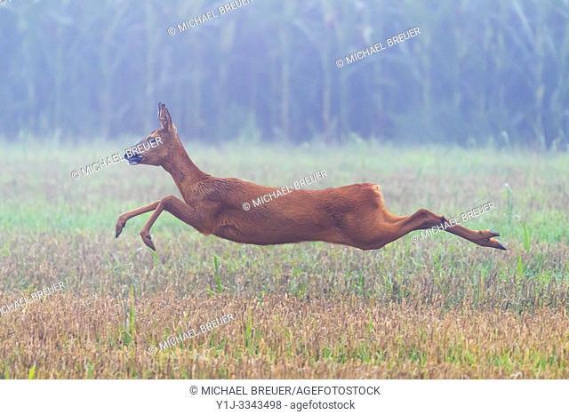 Western Roe Deer (Capreolus capreolus), Doe, Hesse, Germany, Europe