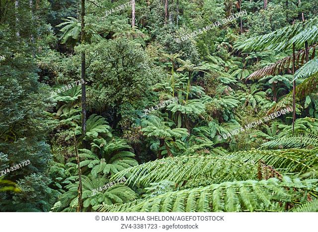 Nature landscape of the forest in the Great Otway National Park in spring, Australia