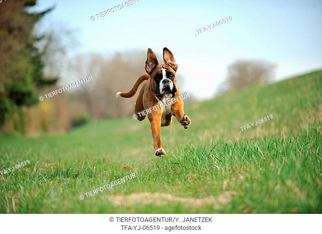 jumping German Boxer